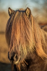 Beautiful portrait of a dark brown Icelandic horse with a very long mane, covering almost the whole face. Glowing in orange in the evening sunlight
