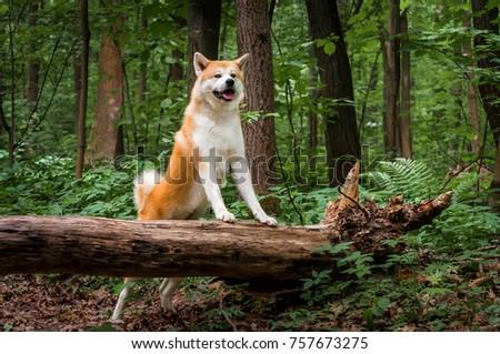 Beautiful portrait of a dog, the Akita Inu / Husky #757673275