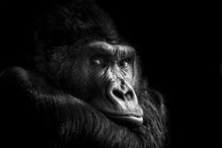 Beautiful Portrait of a Gorilla. Male gorilla on black background