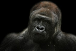 Beautiful Portrait of a Gorilla. Male gorilla on black background, Gorilla closeup face