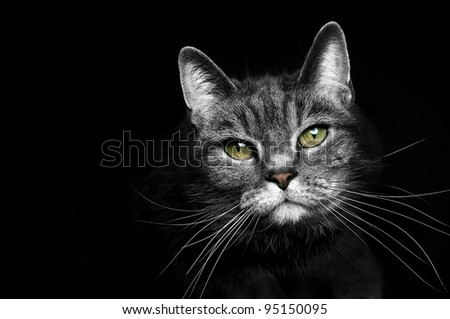 beautiful portrait of a grey cat on a black background #95150095