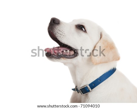Beautiful portrait of a Labrador retriever puppy with a blue dog-collar, isolated on white