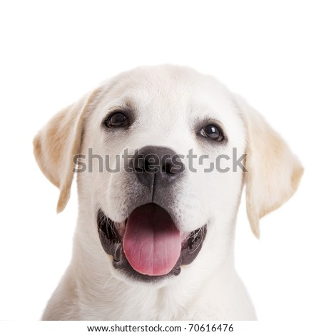 Beautiful portrait of a labrador retriever puppy with tongue out, isolated on white