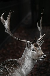 Beautiful portrait of a male fallow deer with huge horns, antlers on dark moody background. Close up of wild animal from the forest.