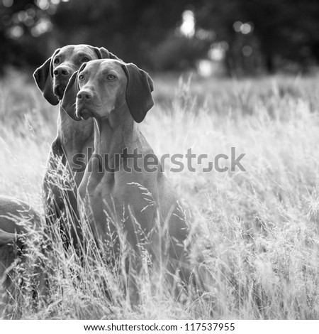 Beautiful portrait of a pair of Hungarian Vizsla dogs sitting in long fall grass