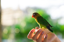 beautiful portrait of Fischer Lovebird (Agapornis spp.) on hand