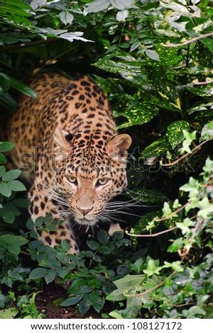 Beautiful portrait of leopard Panthera Pardus big cat amongst foliage in captivity #108127172