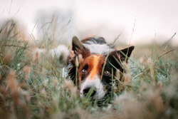 Beautiful portrait of the dog laying in the grass on the walk outside. Tricolor border collie puppy with holi color paints on its face is resting on the field at sunset. Dog on the walk.