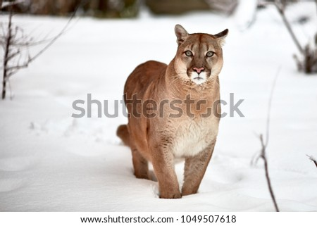 Beautiful Portrait puma. Canadian Cougar. mountain lion, puma, panther, Winter scene in the woods. wildlife America