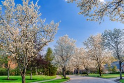 Beautiful Profusion of Cherry Blossoms on Trees in Spring on a Residential Neighborhood Street in Ohio, USA