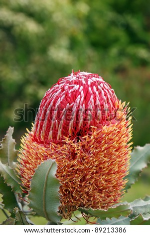 Beautiful Protea Banksia Flower Blooming in Vivid Color