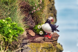 Beautiful Puffin on the coast in Latrabjarg in Iceland, wildlife