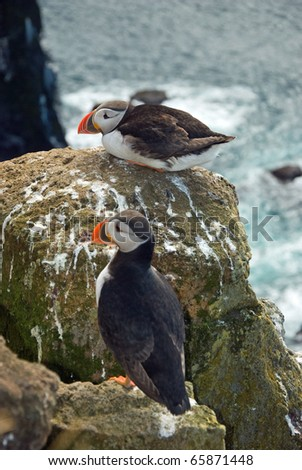 Beautiful puffins on the Iceland