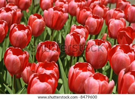 Beautiful punk tulips in a garden in springtime.