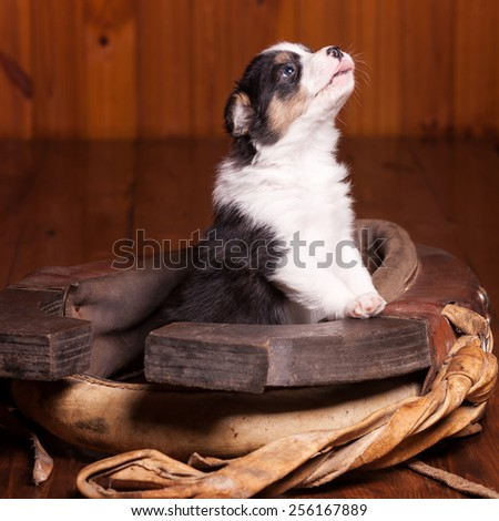 Beautiful puppy became front paws on the collar for a horse and looking up