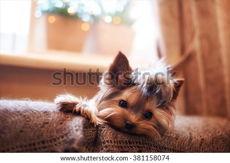 Beautiful puppy lying on a fluffy rug. Little dog looks clever and sad eyes. Man\'s best friend. Yorkshire Terrier.