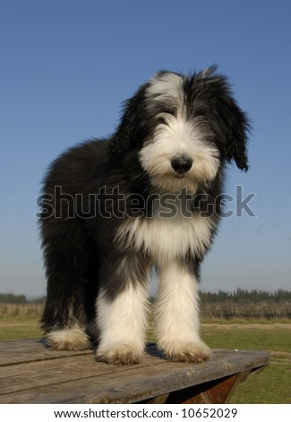 beautiful puppy purebred bearded collie sitting on a table