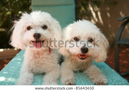 beautiful pure breed bichon frise dogs smile as they pose for their portrait while out side on a lounge chair.
