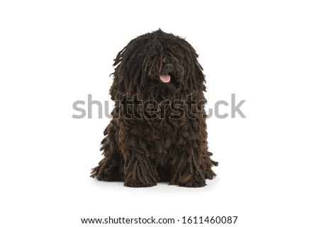 Beautiful purebred black puli dog sits of white background. Hungarian water dog Isolated  Zdjęcia stock ©