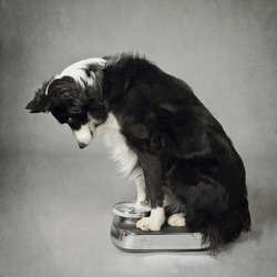 beautiful purebred border collie dog weighing on a bathroom scale on gray background