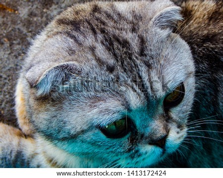 Beautiful purebred cat with the color of ash. #1413172424