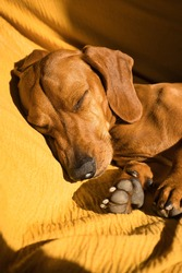 Beautiful purebred dachshund dog, also called a teckel, Viennese dog, or sausage dog, napping on a dog bed. sleeping