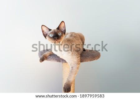 Beautiful purebred Devon Rex male cat.  Cat loves to spending time sitting on scratching post. Cat furniture - scratcher.  Foto d'archivio ©