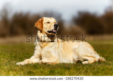 Beautiful purebred dog lying down in the grass during spring time.