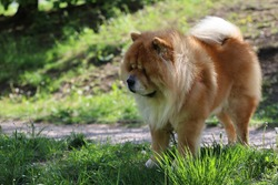 beautiful purebred dog with fluffy hair,chow chow