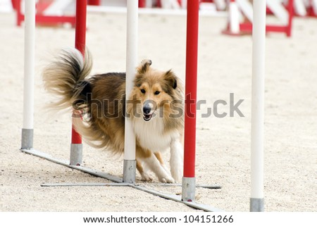 beautiful purebred shetland sheepdog jumping in a training of agility