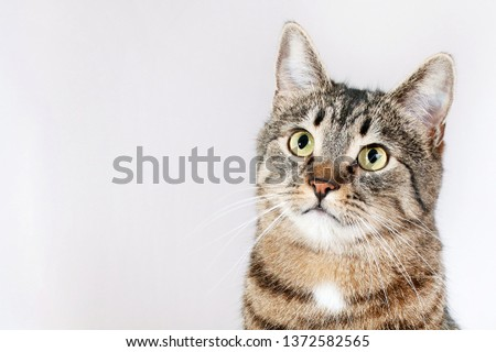 beautiful purebred striped cat looking up isolated on white background #1372582565