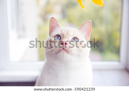 Shutterstock beautiful purebred white cat.
