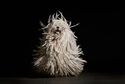 Beautiful purebred white puli dog runs of black background. Hungarian puli