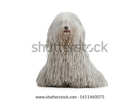 Beautiful purebred white puli dog sits of white background. Isolated  Zdjęcia stock ©