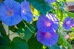 Beautiful purple and blue morning glory flowers vine on a house fence on a sunny morning.