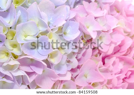 Beautiful Purple and Pink Hydrangea Flowers Close-up