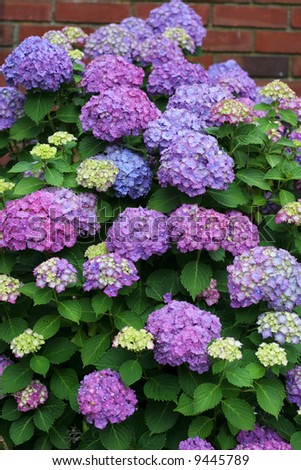 beautiful purple and pink hydrangeas
