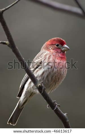 Beautiful purple and red House Finch Male on limb, looks much like Purple Finch - stock photo