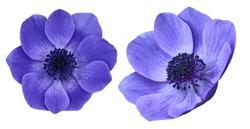 Beautiful purple anemone mona lisa blush flowers isolated on white background