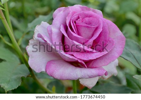 Beautiful purple Angel Face rose. Purple lavender roses in the garden