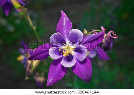 Free photos purple flower with yellow center avopix beautiful purple aquilegia flower in the garden 300467144 mightylinksfo Image collections