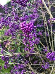 Beautiful purple berry, the Callicarpa bodinieri Profusion, Focus on the berry's in the centre, autumn 2019