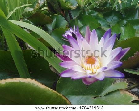 beautiful purple Blooming lotus flower.