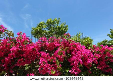 Beautiful purple bougainvilleas in a Mediterranean garden