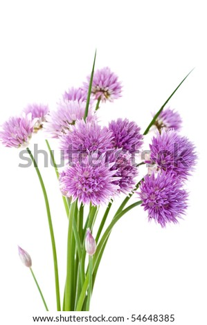 Beautiful purple chive (allium schoenoprasum) flowers on a white background.
