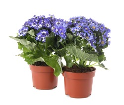 Beautiful purple cineraria plants in flower pots on white background