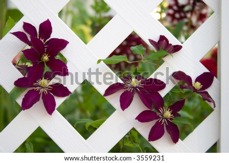 Beautiful purple clematis flowers climb on gazebo lattice in the middle of garden - stock photo