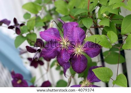 beautiful purple clematis vine