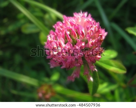 Beautiful purple clover flower on a background of grass ez canvas beautiful purple clover flower on a background of grass mightylinksfo