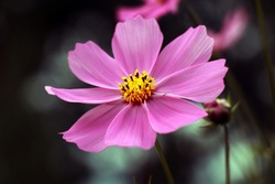 Beautiful purple Cosmos flower in the garden. Violet flowers pictures. Cosmos bipinnatus, commonly called the garden cosmos or Mexican aster.